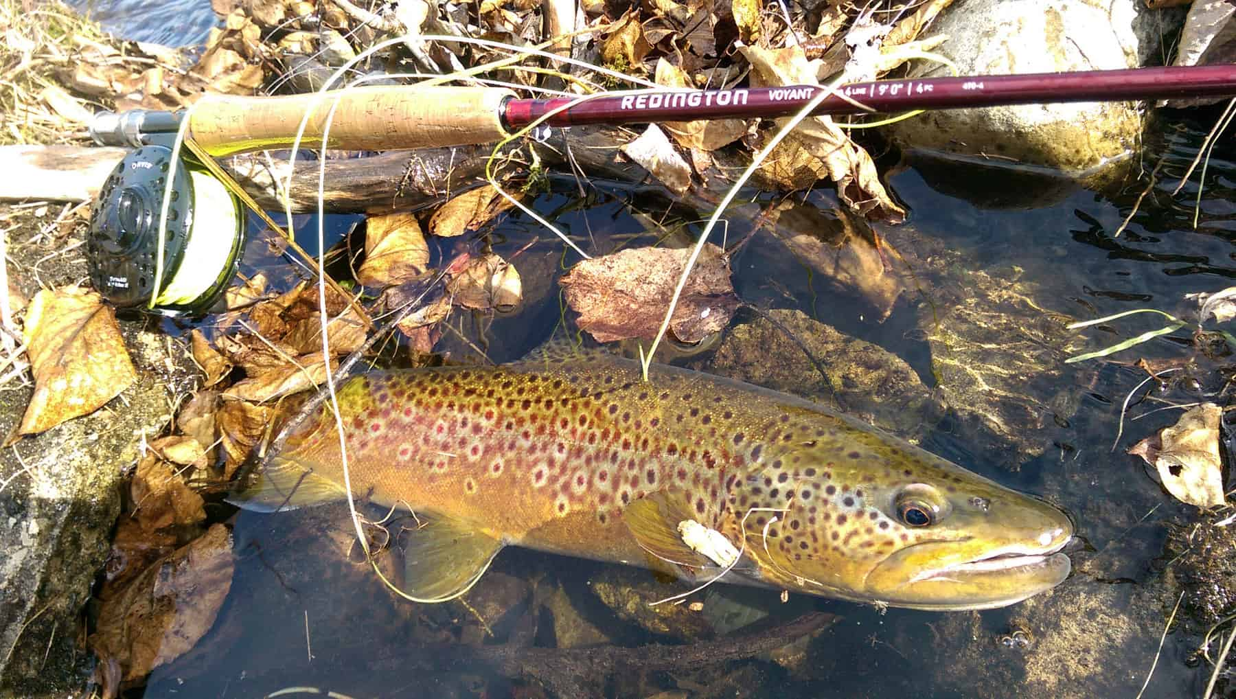 150422_browntrout
