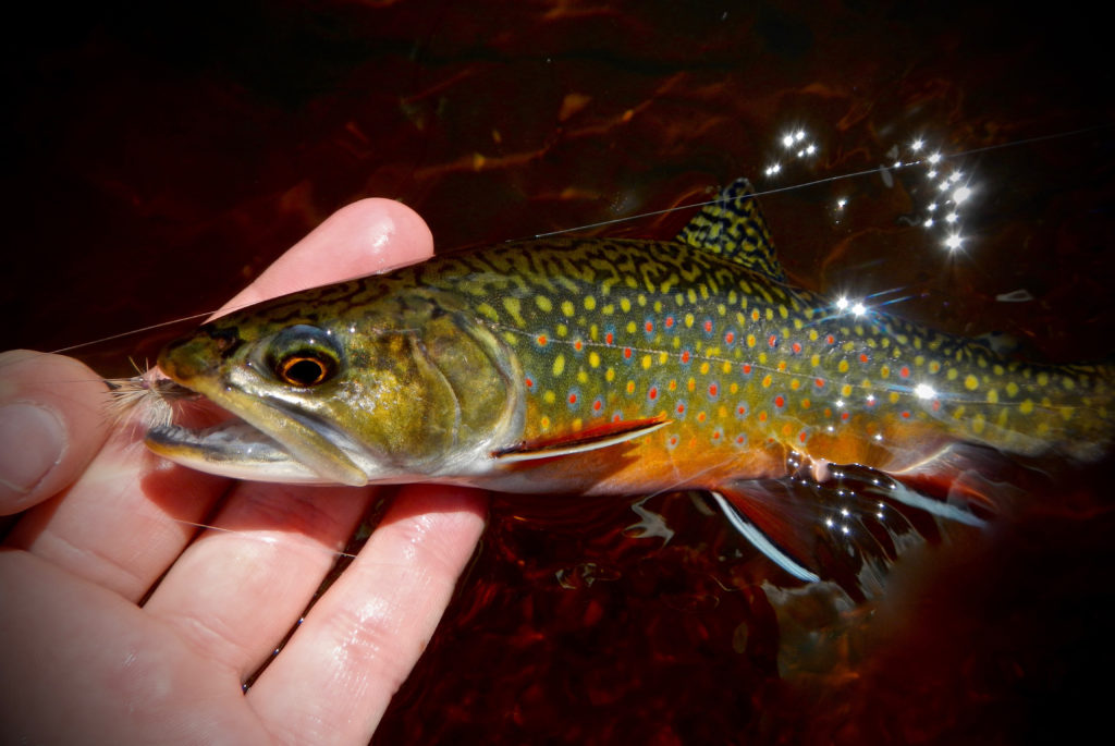 160525_brooktrout
